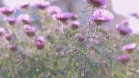El crisantemo púrpura florece hacer frente al sol en el jardín almacen de metraje de vídeo