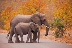 El cruzar de los elefantes Foto de archivo libre de regalías