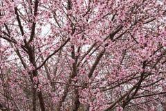 El ` cubierto en millares rosados del ` de melocotón florece contra el cielo nublado fotos de archivo