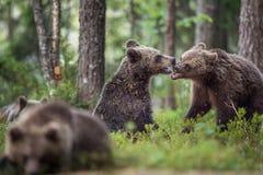El Cubs de los osos de Brown y de x28; Ursus Arctos Arctos& x29; juguetónamente luchando fotos de archivo