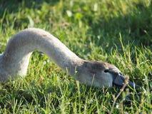 El cuello y la cabeza de un cisne gris salvaje foto de archivo libre de regalías