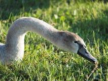 El cuello y la cabeza de un cisne gris salvaje fotografía de archivo libre de regalías