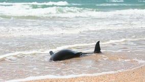 El cuerpo de un delfín de bottlenose muerto trenzado en la playa de la arena almacen de video