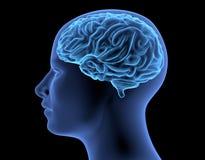 El cuerpo humano - cerebro Imagen de archivo libre de regalías