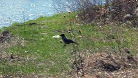 El cuervo camina en la hierba metrajes
