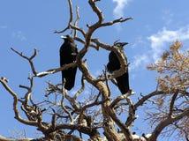 Dos cuervos comunes (corax del Corvus) se encaramaron en un árbol seco foto de archivo libre de regalías