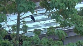El cuervo de la selva vuela apagado almacen de metraje de vídeo