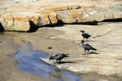 El cuervo de varios colores Fotografía de archivo