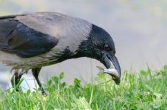 El cuervo está cazando los pescados imagen de archivo