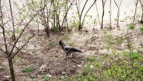 El cuervo está en la tierra con una nuez en su pico metrajes