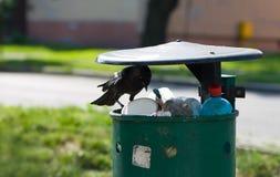 El cuervo está frecuentando en el recogedor de polvo Imagenes de archivo
