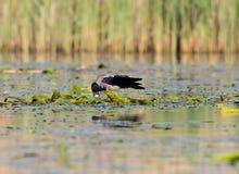 El cuervo gris roba los huevos de la jerarquía de golondrinas de mar cheeked negro Imágenes de archivo libres de regalías