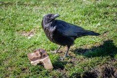 El cuervo mira alrededor y guarda su botín imagen de archivo libre de regalías