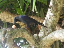 El cuervo negro come puntualmente la presa en la hierba, una rama, Sri Lanka imagen de archivo libre de regalías