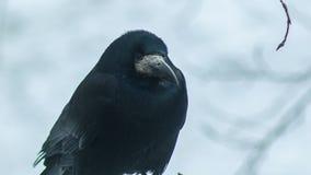 El cuervo negro mira alrededor almacen de metraje de vídeo
