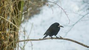 El cuervo negro mira alrededor almacen de video