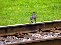 El cuervo negro se opone en los carriles del ferrocarril, a la hierba verde del verano foto de archivo libre de regalías