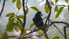 El cuervo negro se sienta en una rama de árbol en el parque Cierre de la cámara lenta para arriba almacen de video