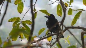 El cuervo negro se sienta en una rama de árbol en el parque Cierre de la cámara lenta para arriba almacen de metraje de vídeo