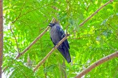 El cuervo negro fotos de archivo libres de regalías