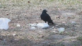 El cuervo roba el almuerzo lleno almacen de video