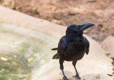 El cuervo se coloca al borde de la charca Imágenes de archivo libres de regalías