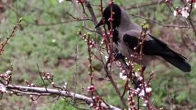 El cuervo se sienta en un albaricoque floreciente y come la flor floreciente metrajes