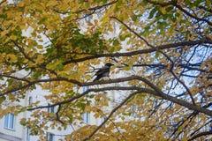 El cuervo se sienta en una rama de un árbol de tilo amarillo del otoño imágenes de archivo libres de regalías