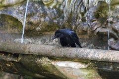 el cuervo toma un baño imagenes de archivo