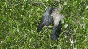 El cuervo viejo con un pico grande limpia plumas almacen de metraje de vídeo