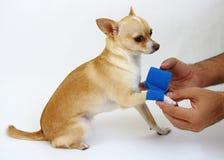 El cuidar para el perro con la pierna del daño Fotografía de archivo libre de regalías