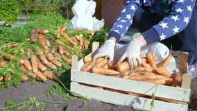 El cultivador clasifica la cosecha recientemente cavada de la zanahoria almacen de metraje de vídeo