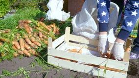 El cultivador clasifica la cosecha recientemente cavada de la zanahoria almacen de video