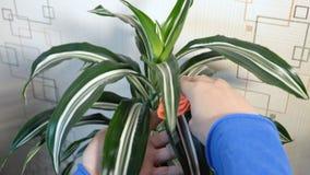 El cultivador de la flor limpia el polvo de las hojas de la planta metrajes