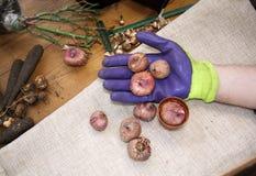 El cultivar un huerto de la afición Las manos masculinas llevan a cabo cuidadosamente el material vegetal Herramientas que cultiv Fotografía de archivo libre de regalías