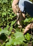 El cultivar un huerto de la mujer joven. Foto de archivo