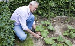 El cultivar un huerto del hombre mayor Fotografía de archivo