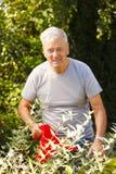El cultivar un huerto del hombre mayor Foto de archivo