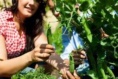 El cultivar un huerto en el verano - mujer que cosecha los guisantes Fotografía de archivo libre de regalías