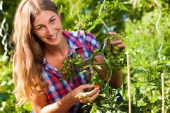 El cultivar un huerto en el verano - mujer que cosecha los tomates Imagen de archivo libre de regalías