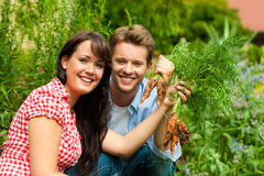 El cultivar un huerto en el verano - par que cosecha zanahorias Imágenes de archivo libres de regalías