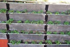 El cultivar un huerto en la pared vertical Imagen de archivo libre de regalías