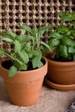 El cultivar un huerto - hierbas en crisoles Fotografía de archivo libre de regalías
