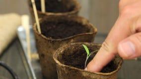El cultivar un huerto: Hombre que separa almácigos en el establecimiento de los potes metrajes