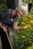 El cultivar un huerto mayor de la mujer Imagen de archivo libre de regalías