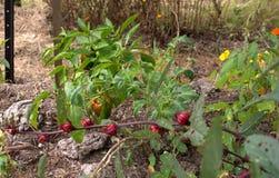 El cultivar un huerto orgánico Fotografía de archivo
