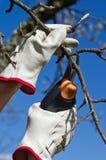 El cultivar un huerto, poda. Fotos de archivo libres de regalías