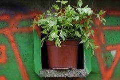 El cultivar un huerto urbano Hierba fresca del apio de monte Imagen de archivo libre de regalías