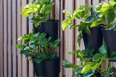El cultivar un huerto vertical Foto de archivo libre de regalías