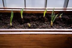 El cultivar un huerto y horticultura cebollas verdes crecientes en una caja en una terraza en la ciudad foto de archivo